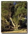 melaleuca-rhaphiophylla-freshwater-paperbark-ll-093-copy