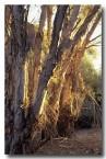 melaleuca-rhaphiophylla-mu-756-copy