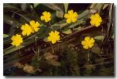 menyanthaceae-nymphoides-aurantiaca-orange-marshwort-zm-079-web-copy