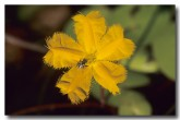 menyanthaceae-nymphoides-aurantiaca-orange-marshwort-zm-084-web-copy