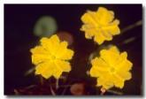 menyanthaceae-nymphoides-aurantiaca-orange-marshwort-zm-091-web-copy