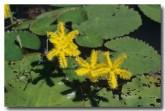 menyanthaceae-nymphoides-crenata-wavy-marshwort-gw-240-web-copy