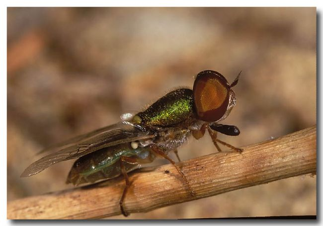 Metalic Soldier Fly