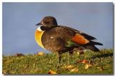 mountain-duck-zl-608-copy