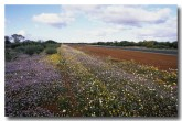 murchison-road-with-annuals-ac-379-copy