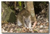 northern-brown-bandicoot-llg-991-web-copy