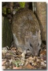 northern-brown-bandicoot-llg-992-web-copy