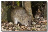 northern-brown-bandicoot-llg-993-web-copy