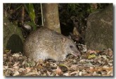 northern-brown-bandicoot-llg-994-webs-copy