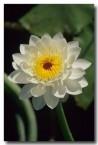 nymphaeaceae-nymphaea-violacea-blue-water-lily-jt-185-web-copy