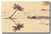 nymphaeaceae-nymphaea-violacea-blue-water-lily-pc-292-web-copy