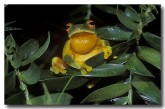 orange-thighed-tree-frog-hd-859