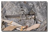 orthoptera-tettigonidae-tree-cricket-2-eungella-llg-813-web-copy