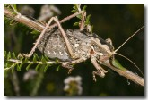 orthoptera-tettigoniidae-5-stockyard-gully-llh-166-web-copy