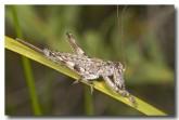 orthoptera-tettigoniidae-grasshopper-1-alkimos-abd-319-web-copy
