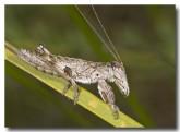 orthoptera-tettigoniidae-grasshopper-1-alkimos-abd-320-web-copy