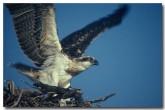 osprey-yy-887-copy
