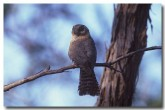 owlet-nightjar-kb-181-copy