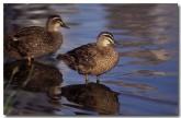 pacific-black-ducks-rb-624-copy