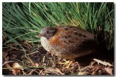 painted-button-quail-ld-967-copy