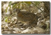painted-button-quail-llg-868-web-copy