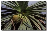 pandanaceae-pandanus-spiralis-a-screwpine-ld-572-copy