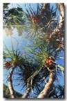 pandanaceae-pandanus-sprialis-td-747-copy