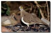 partridge-pigeon-geophaps-smithii-pc-095-copy