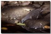 peaceful-dove-pp-510-copy