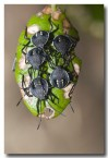 pentatomid-bugs-perth-llf-729-web-copy