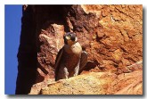perergine-falcon-yd-340-copy