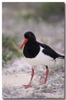 pied-oystercatcher-pm-665-copy