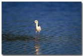 pied-stilt-xd-622-copy