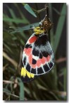 pieridae-delias-harpalyce-imperial-white-butterfly-em-123-web