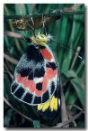 pieridae-delias-harpalyce-imperial-white-butterfly-em-124-web