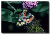 pieridae-delias-harpalyce-imperial-white-butterfly-em-127-web
