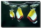 pieridae-delias-mysis-union-jacks-qb-882-web