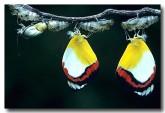 pieridae-delias-mysis-union-jacks-qb-883-web