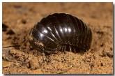 pill-millipede-px-052