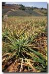 pineapple-ev-715-copy