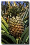 pineapple-ev-727-copy