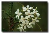 pittosporaceae-billardiera-floribunda-white-flowered-billardiera-xk-204-copy