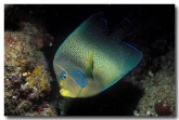 pomacanthidae-semicircle-angelfish-cb-981-copy