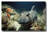 port-jackson-shark-he-393-copy