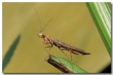 praying-mantis-zf-371-copy