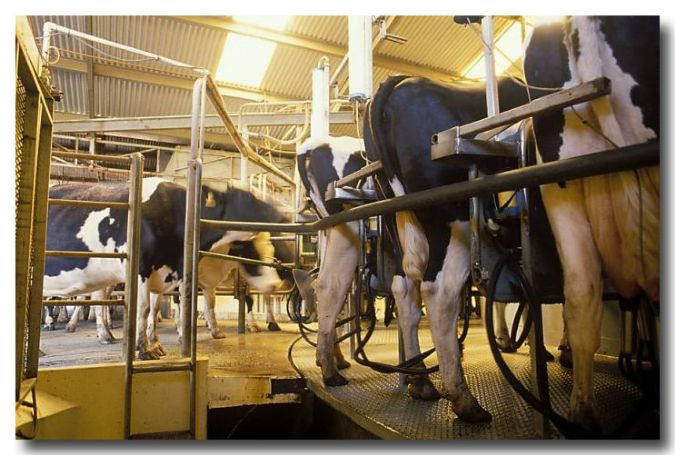(PX-175) Dairy farming