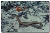 pygopus-lepidopodus-ll-172-copy