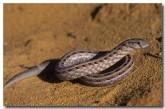pygopus-lepidopodus-zp-801-copy
