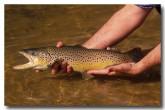 rainbow-trout-lf-100-copy