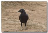 raven-lld-938
